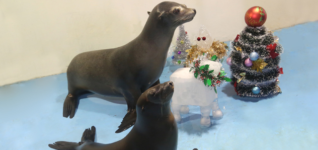 Caption: California Sea lion Tooske and Tiny are trying to mimick the pose of Santa's reindeer near their very own tinsel-decorated Christmas tree.