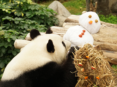 Using towels, fruit and high-fibre biscuits, animal keepers at the Amazing Asian Animals exhibit built a snowman puppet for giant panda Ying Ying, who curiously sniffs it.
