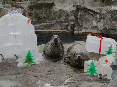 At the Pacific Pier, sea lions and spotted seals join-in a holiday party hosted by their animal keepers, with igloos, Christmas trees, and gigantic presents!
