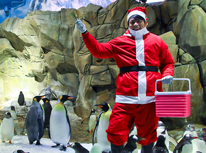 The adorable penguins crowd around their animal keeper who dressed as Santa Claus for the very first time, to receive their presents from Santa's bucket of goodies.