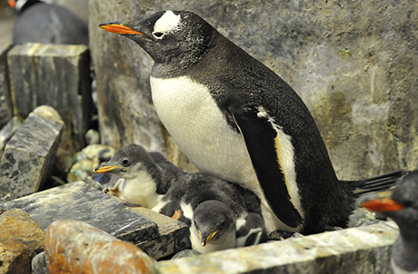 The gentoo penguin chicks are now taken care of by their parents and can be seen by guests strolling through the South Pole Spectacular exhibit during Christmas.