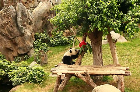 Picture 3: Giant panda climbs up the tree for bamboo
