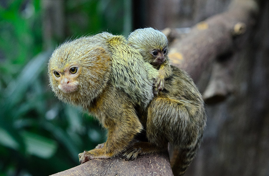 A baby pygmy marmoset on its parent's back