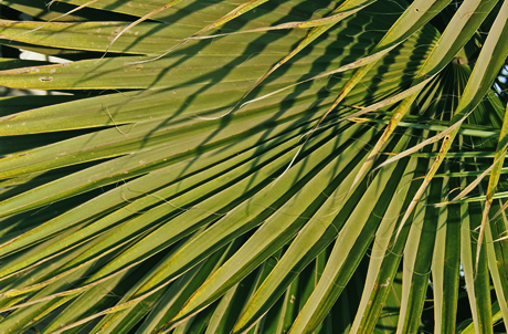 Chinese Fan-palm