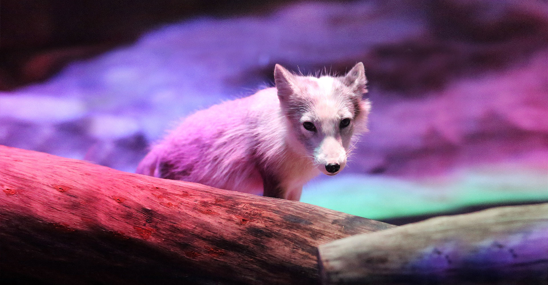 https://media.oceanpark.cn/files/s3fs-public/arctic_fox_den_bg01.jpg