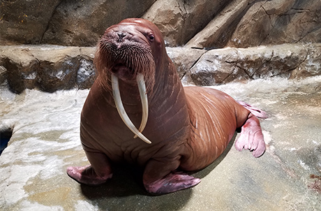 Meet the Walrus